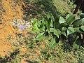 Vitex trifolia 13.JPG