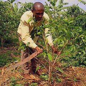 Economy of Rwanda - A coffee farmer in Rwanda.