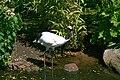 Vogelpark Walsrode - Grus japonensis 01 ies.jpg