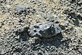 Volcanic Bomb Mt. Bental.jpg