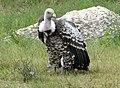 Vulture Griffon.jpg