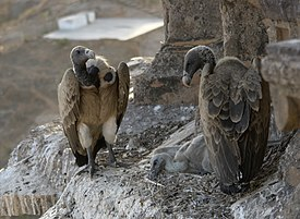 Vultures in the nest, Orchha, MP, India.jpg
