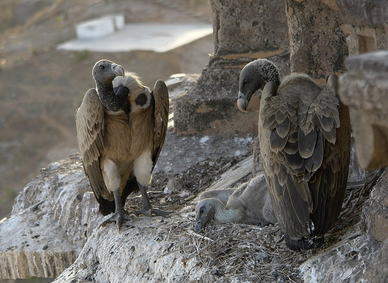 File:Vultures in the nest, Orchha, MP, India.jpg