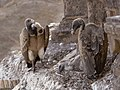 Vultures in the nest, Orchha, MP, India edit2.jpg