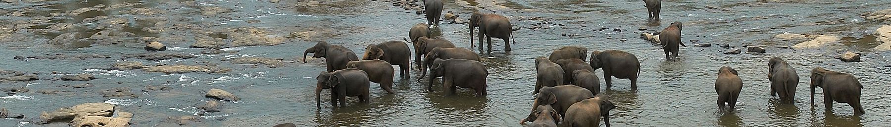 WV banner Sabaragamuwa Elephants in water.jpg