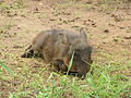 Warthog baby in Murchison Falls National Park.JPG