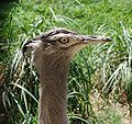Washington DC Zoo - Kori Bustard.jpg
