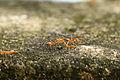 Weaver Ants.JPG