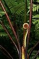 West Indian Tree Fern on St Lucia Fiddlehead.jpg
