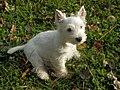 West highland white terrier 3 months old.jpg