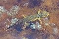 Western Tiger Salamanders (Ambystoma mavortium) in Lamar Valley (ce971109-b871-438d-adb6-1e75eb2df547).jpg