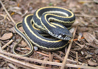 Wilmer W. Tanner - A western garter snake, of which Tanner identified 5 new subspecies.
