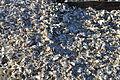 Westport, WA - shells outside Brady's Oysters 01.jpg