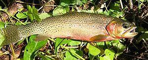 Westslope cutthroat trout - Westslope cutthroat trout