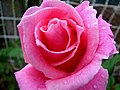 Wet Morning On The Rose (272497187).jpg