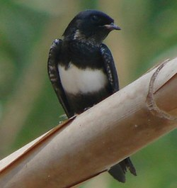 White-banded Swallow (Atticora fasciata) cropped.jpg