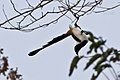 White-bellied Treepie (5800208222).jpg