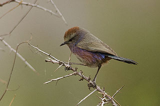 White-browed tit-warbler Songbird of the mountains of Tibet and China