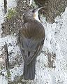 White-throated Treecreeper (Cormobates leucophaea).jpg