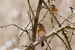White-whiskered Spinetail.jpg