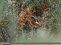 White-winged Redstart (Phoenicurus erythrogastrus) (25421604090).jpg