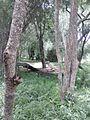 White Indian tiger - Bannerghatta Biological Park, Bengaluru.jpg