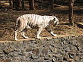 White Tiger 4.JPG
