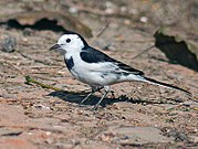 White Wagtail of subspecies M. a. leucopsis,commonest of three wintering subspecies