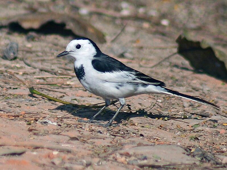 ไฟล์:White Wagtail- (Non-breeding- leucopsis race) -I2- Kolkata IMG 6515.jpg
