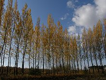 White birch housei-pref china096251.jpg