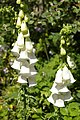 White foxgloves in the garden of Little St Mary's church - geograph.org.uk - 460252.jpg