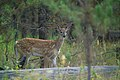 Whitetail fawn (4497674157).jpg