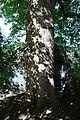 Wiener Naturdenkmal 455 - Winterlinde (Hietzing) c.JPG