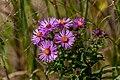 Wild Purple Fleabane Macro PLT-FL-DS-FB-5.jpg