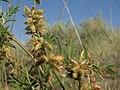 Wild licorice, Glycyrrhiza lepidota (15986217589).jpg