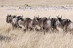 Wildebeests in the Masaai Mara.jpg