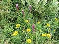 Wildflowers Elk Knob NC SP 0995 (3774199022).jpg