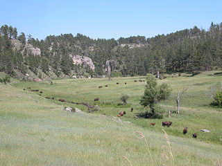 Wind Cave bison herd
