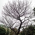 Winter Tree in the Lin Family Garden 林家花園寒樹 - panoramio.jpg