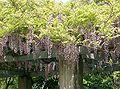 Wisteria floribunda12.jpg