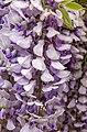 Wisteria sinensis, Christchurch Botanic Gardens, Canterbury, New Zealand 22.jpg