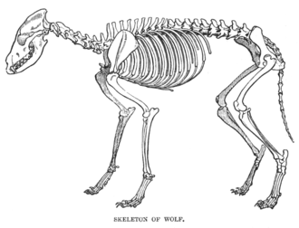 Digitigrade - Skeleton of a wolf, showing a typical digitigrade arrangement of leg and foot bones