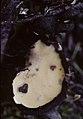 Wolfina aurantiopsis 13064097.jpg