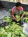 Woman Preparing Betel Leaves - Khasia Tribal Village - Lawachara National Park - Outside Srimangal - Sylhet Division - Bangladesh (12924016985).jpg