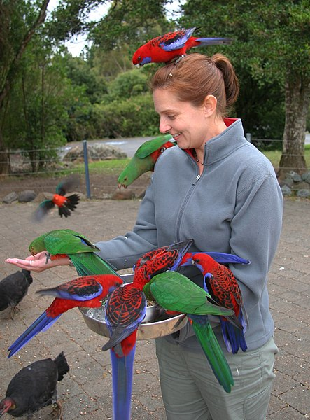 File:Woman feeding parrots -Lamington National Park, Queensland, Australia-8.jpg