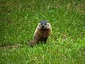 Woodchuck offspring in our yard (5825855337).jpg