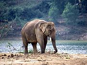Arbeitselefant am Ufer des Parfüm-Flusses in Mittel-Vietnam