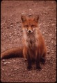 YOUNG FEMALE FOX NEAR GALBRAITH LAKE CAMP - NARA - 550432.tif