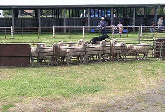 Sheepdog trial - An Australian Kelpie running over the backs of sheep during a yard dog trial, Walcha, NSW