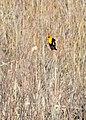 Yellow-Headed Blackbird (8681865347).jpg